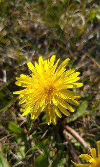 Dandelion, Yellow, Flower, Spring