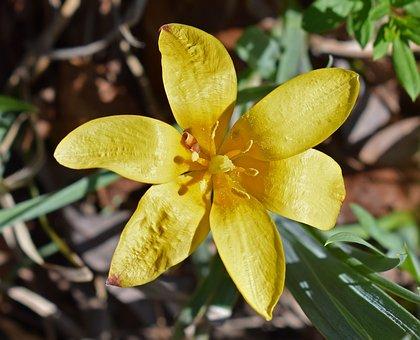 Species Tulip, Tulip, Fully Open, Flower, Blossom