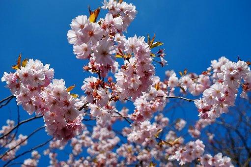 Flowers, Spring, Japanese Cherry Blossom, Tree, White
