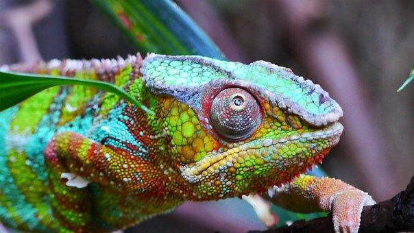 Kamelion, Reptile, Colorful, Animal, Color