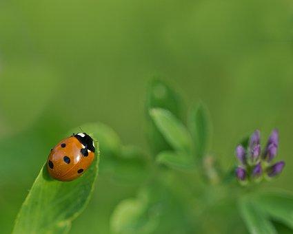 Ladybug, Klee, Alfalfa, Lucky Charm, Luck