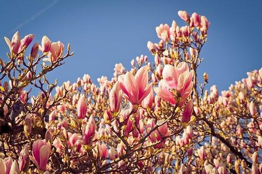 Magnolia, Tree, Flowers, Blossom, Bloom, Spring, Nature
