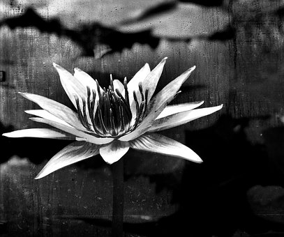 Black White, Water Lily, Flower, Nature, Pond