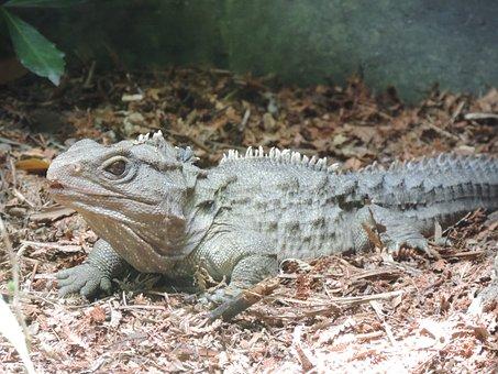 Tuatara, Reptile, New Zealand, Nz, Lizard, Nature