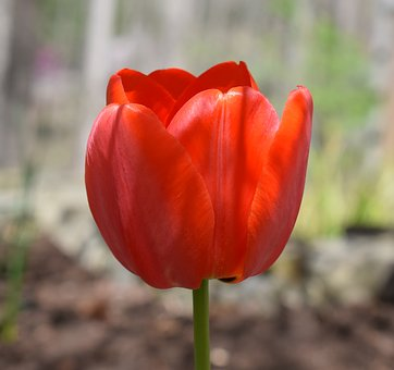 Orange Tulip, Parrot Tulip, Tulip, Bulb, Flower
