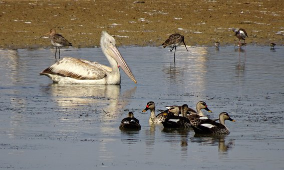 Pelican, Bird, Duck, Spot-billed, Ornithology, Wildlife