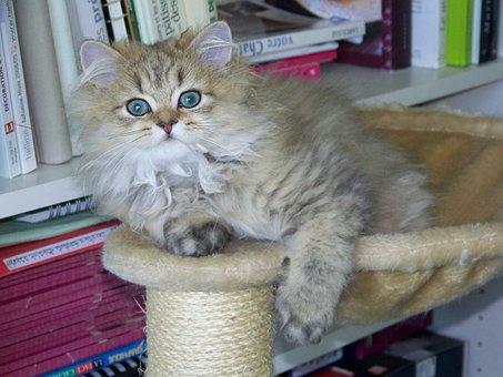 Cat, Persian, Persian Golden, Animal, Kitten, Look
