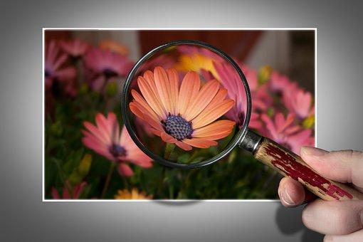 Flower, Osteospermum, Nature, Garden, Summer, Plant