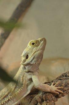 Bearded Dragon, Reptile, Pogona Vitticeps, Terrarium