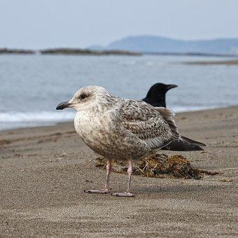 Animal, Sea, Beach, Sea Gull, Seagull, Seguro Seagulls