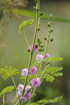 Mimosa Pudica, Sensitive Plant, Sleepy Plant