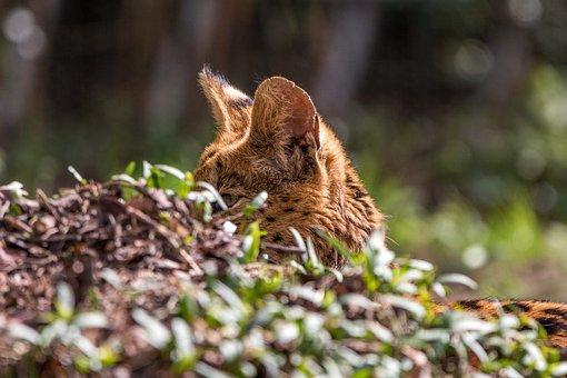 Wildcat, Serval, Leptailurus Serval, Feline