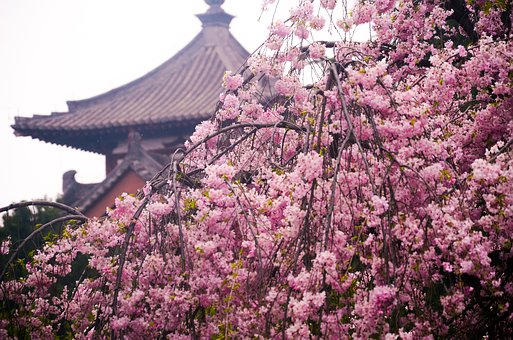 Qinglong Temple, Cherry Blossom, Ancient