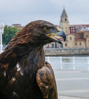 Aguila, Ave, Bird Of Prey, Wings, Birds Of Prey, Bird