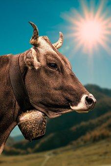 Cow, Cowboy, Bell, Alpine, Sunbeam, Nature, Pasture