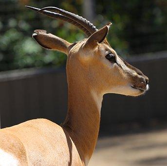 Eland, Zoo, Tragelaphus Oryx