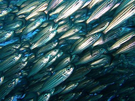 Shoal, Fish, Galapagos, Diving, Underwater