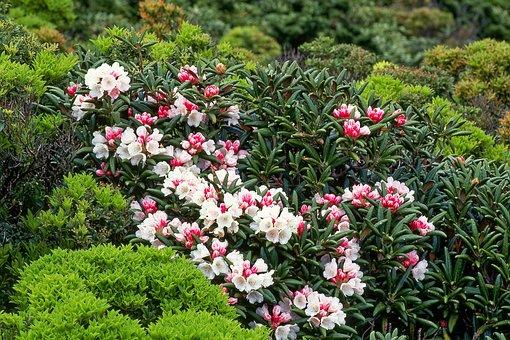Flowers, Yak The Rhododendrons, Yakushima Island