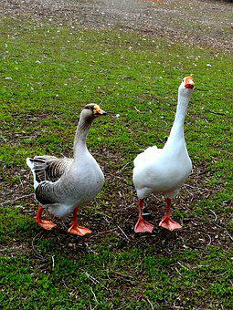 Geese, Goose, Bird, White, Nature, Animal, Wild