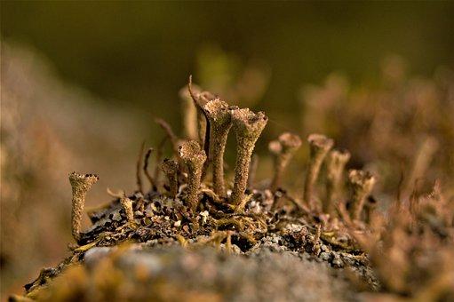 Trumpet Lichen, Lichen, Caldonia Fimbriata, Granite