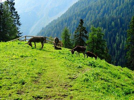 Donkey, Animals, Mountain, Alp, Alm, Meadow, Graze