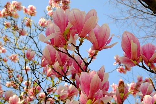 Magnolia, Magnolia Tree, Spring, Pink, Bloom, Flowers
