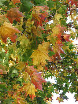 Maple, Foliage, Autumn, Purple