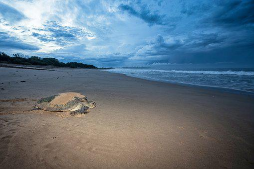 Turtle, Mydas Females, The Sea To Go, Before Dawn