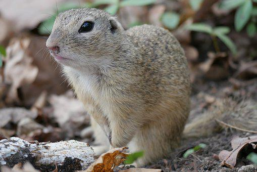 Animal, Ground Squirrel, Croissant, Gophers, Nager, Fur