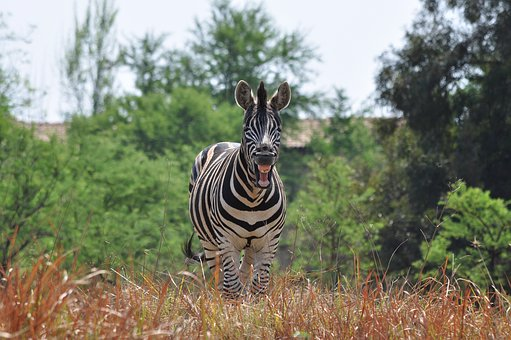Laughing Zebra, Wildlife, Nature