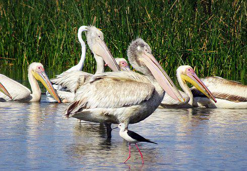 Bird, Pelican, Young, Fledgling, Ornithology, Wildlife