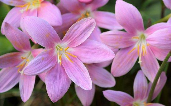 Crocus, Garden, Flowers, Pink Flower, Wild Saffron