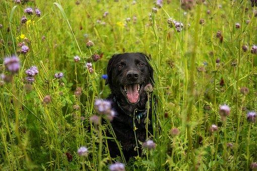 Labrador, Meadow, Dog, Domestic Dog, Soul Dog, Puppy