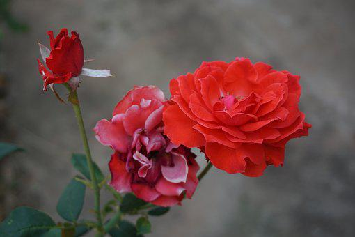 Rose, Red Roses, Flowers, Nature, Red, Aroma, Romance