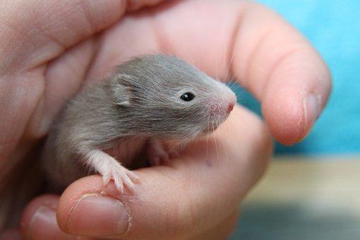 Hamster, Goldhamster, Hamster Baby, Nager, Rodent