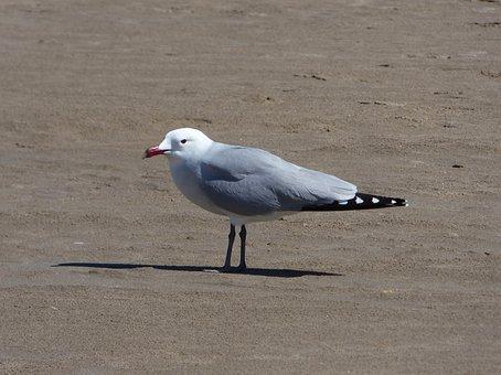 Seagull, Audouin's Gull, Ichthyaetus Audouinii