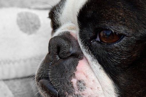 Dog, Detail, Snout, Fatigue, Boston Terrier, Cute