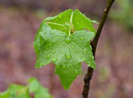New Sweetgum Leaves, Sweetgum, Leaves, Foliage