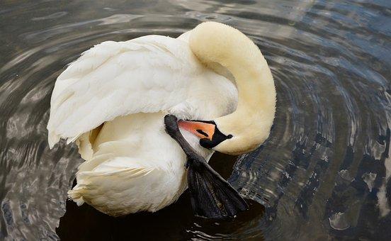 Swan, White Swan, Bird, Water Bird, Plumage, Pond