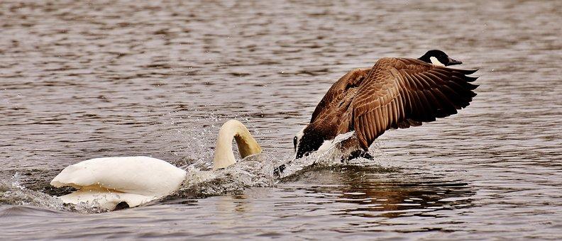 Swan, Bite, Wild Goose, Argue, Animal World, Feather