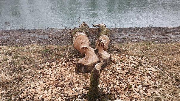 Beaver, Beaver Damage, Beavers Gnaw At The Inn