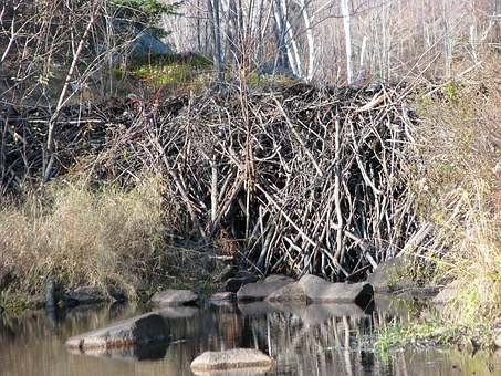 Beaver Dam, Close-up, Deer Rock Lake, Ontario, Canada