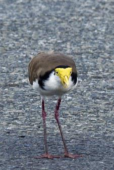 Masked Lapwing, Vanellus Miles, Charadriidae, Bird