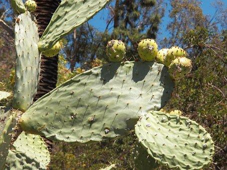 Cactus, Plant, Desert, Flower, Botany, Cacti, Garden