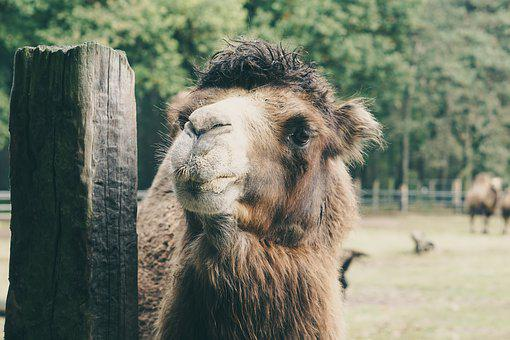 Camel, Captivity, Wood, Brown, Fluffy, Nature, Fence