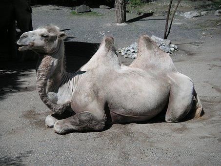 Camel, Zoo, Zurich, Animal, Mammal, Livestock