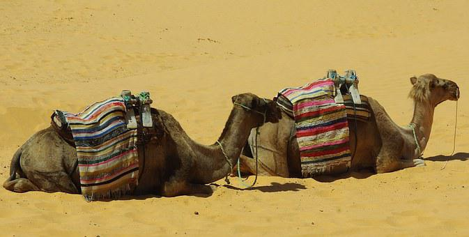 Tunisia, Tataouine, Camels, Camel, Sahara