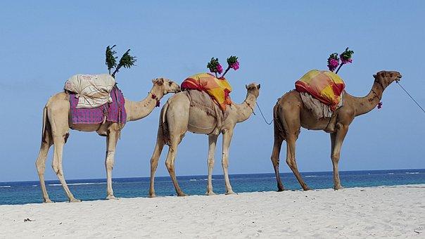Camels, Caravan, Dromedary, Africa, Desert Ship, Oasis