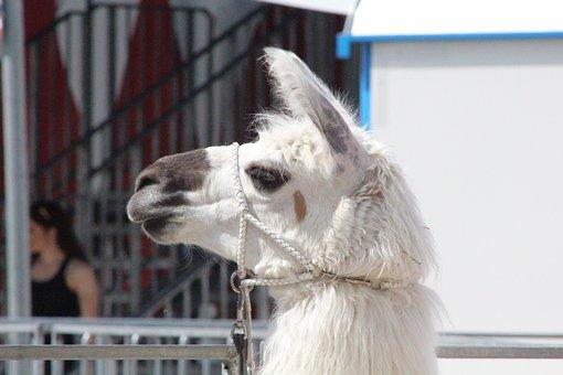 Camel, Circus, Zoo, Desert Animal