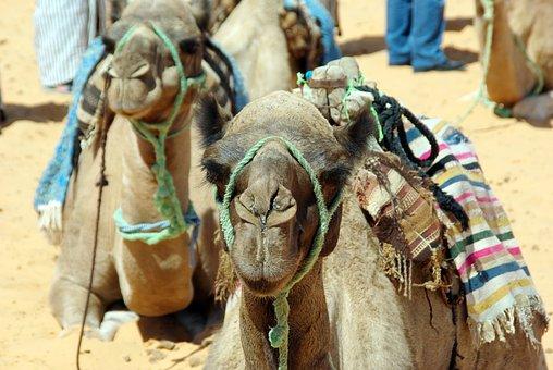 Tunisia, Mehari, Dromedary Camel, Desert